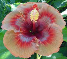 Hybrid Tropical Hibiscus Flower Seeds, China Rose Hibiscus Rosa-Sinensis Very Rare Tropical Flowering Plant Seeds 5 China Rose, Planting Flowers, Plants, Beautiful Flowers, Hibiscus Flowers, Hibiscus, Flowers, Hibiscus Rosa Sinensis, Flower Seeds