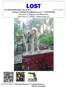 Lost Dog - Siberian Husky - Plant City, FL, United States