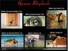 German shepherds. Gaurd dog. Meme.