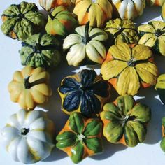 """Daisy Mix Gourds   Jung Garden and Flower Seed The gourds are naturally shiny, with the majority displaying the unique daisy pattern on the stem end. The colorful mix produces mini pumpkin size gourds in shades of green, yellow and white in contrasting """"daisies"""". The high-yielding plants produce best when not overcrowded. Sure to be in high demand as there is nothing else like them."""
