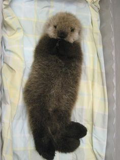 Adorable Baby Sea Otter - I almost can't cope with the sweetness!