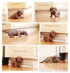 Olga Rose is the single wirehair dachshund puppy from Sophie. I love photographing dachshund puppies. Olga is starting to walk and is very curious about the world around her...