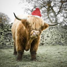 Merry Christmas- it's a Highland Coo! @hayleygervais AWW LOOK AT HIIIIIM