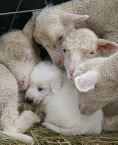 A livestock protection dog pup has sought the comfort of a group of young lambs. I raised my Great Pyrenees pup with my sheep. Had a flock of registered Border Cheviot Sheep for 15 years. She was the best dog! Farm Animals, Animals And Pets, Funny Animals, Cute Animals, Funny Pets, Funny Chihuahua Quotes, Smiling Animals, Funny Farm, Vegan Animals
