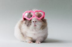 ... Booboo was acclaimed 'world's cutest guinea pig'. And so it be