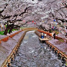 Japanese Cherry Blossoms on the both side of Canal, Kyoto, Japan