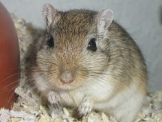 Gerbil foods: a comprehensive list of what gerbils can and can't eat