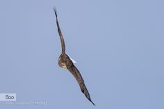 Flying eagle by civale