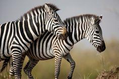 Diaporama - Les animaux de la savane