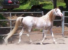 HAAP Snowy River, a son of Fantasia Vu. This pale sabino roan phenotype is not typical of the W19 mutation. Given the findings in the same paper that the white or near-white horses from the W5 line (Puchilingui) were composites of two mutations (W5 and W20), it seems possible that a similar situation exists with horses like Snowy River.