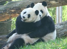 See a panda at the National Zoo in Washington, D. Animals Of The World, Animals And Pets, Cute Animals, Panda Love, Cute Panda, Dc Zoo, Dc Travel, Washington Dc, Cool Pictures