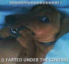 SHH - (I farted under the covers) by Crusoe the Celebrity Dachshund, via Flickr