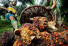Revised palm oil standards a positive step forward - but companies now need to perform at the highest level