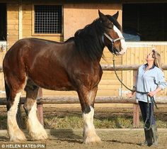 Big Duke: The five-year-old shire horse is 6'7'' at his shoulders (19.3 hands), weighs a ton, and is continuing to grow. Here is Big Duke with friend Sara Ross. Duke - who in equestrian terms is a little over 19.3 hands and was rescued in 2006 when his former owner died suddenly.   He has since become a star attraction at The Horse Refuge in Tenterden, Kent (from Equine Calculator)