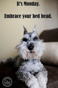 It's Monday. Embrace Your Bedhead. Love, Remington Schnauzer » Kansas City Dog & Pet Photography – Dog Photographer, Pet Photographer, Wedding Photographer