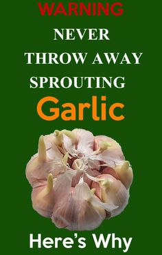 Never throw away Sprouting Garlic, Here is why. if you have Garlic at home and it has started sprouting, you can use it for this at home. - Never throw away Sprouting Garlic Organic Vegetable Seeds, Organic Vegetables, Organic Gardening, Indoor Gardening, Indoor Plants, Container Gardening, Outdoor Gardens, Growing Herbs, Growing Vegetables