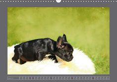 Französische Bulldoggen - CALVENDO