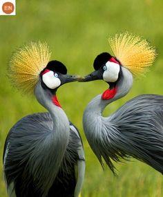 https://www.facebook.com/WonderBirds-171150349611448/ Sếu vương miện xám; Họ Sếu-Gruidae; châu Phi || Grey crowned crane (Balearica regulorum); IUCN Red List of Threatened Species 3.1 : Endangered (EN)(Loài nguy cấp)