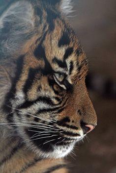 Majestueux Tigre <3 <3 <3