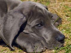 Deutsche Dogge: Groß aber sanftmütig