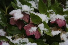 5 Favorites: Hardworking Hellebores That Bloom in the Snow by Michelle Slatalla