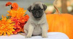 Pug Holiday Themed Facebook Cover Photos For Your Timeline. Pug Thanksgiving / Fall / Halloween Facebook Cover Photo
