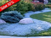 Woolly Thyme - wooly thyme drought proof groundcover. Combine with Sedums, KnockOut Roses, Ornamental Grass, Gaillardia