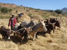 HARVESTING TEFF   traditional treading of teff ethiopia