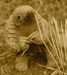 Pangolin    http://www.restafrica.org/