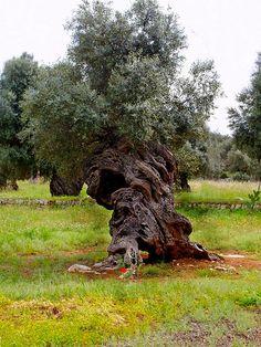http://www.apuliadestination.com/ ulivo secular - Pezze di Greco, Brindisi