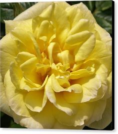 f40e729b6af4 PALE YELLOW ROSE Canvas Print featuring the photograph Pale Yellow Rose by  Richard Brookes. DESCRIPTION