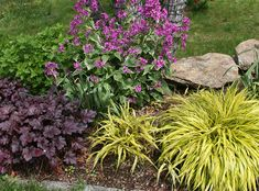Lavender Phenomenal This Perennial Lavender Blooms In Midsummer
