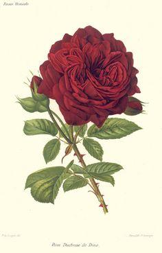 French botanical rose