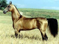 Akhal-Teke   PELAGEM: Predominantemente alazã-dourada, mas há incidência de castanhos e tordilhos e ocasionais pintas brancas sobre a pel...