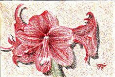 Amaryllis painting dry on watercolor paper, before any wash is added. Robert A. Sloan