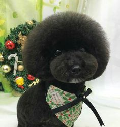 -repinned- Poodle Asian clip