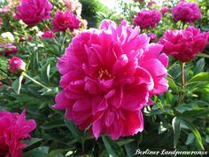 Pfingstrose  Pink Peony