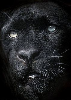If reincarnation exists I want to come back as a panther! So beautiful. Beautiful Cats, Animals Beautiful, Big Cats, Cats And Kittens, Cats 101, Lion Tigre, Der Panther, Panther Cat, Gato Grande