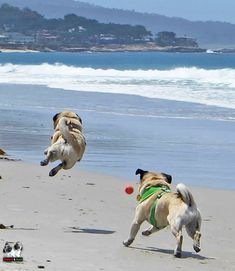 Happy pugs. That one is so joyful, he appears to be flying.