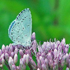 A Summer Spring Azure nectars on Joe Pye weed. https://www4.uwm.edu/fieldstation/naturalhistory/bugoftheweek/bluebutterflies.cfm