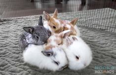 Holland lop baby bunnies, 3 weeks old.  From Hook's Hollands - Ohio Holland Lops