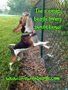 Life With Beagle: You know your dog's a beagle when... Beagle noises