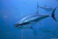 Kilic invests in bluefin tuna farming; targets Japan sales by Atlantic Bluefin Tuna, Big Fish, Big Game, Cool Photos, Amazing Photos, Fishing, Sharks, Documentary, Lab