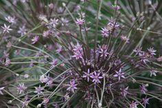 Buy ornamental onion bulbs Allium schubertii: Delivery by Crocus