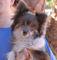 Loba, a precious Pomeranian mix, debuts for adoption today at Nevada SPCA (www.nevadaspca.org).  She is a bashful girl, 6 years of age and spayed, and great with other dogs.  Loba was at another shelter that asked for our help.  Her left eye did not fully form, but holds her socket in place, so removal would just be cosmetic.  We believe she will thrive best in a quiet home environment where she will be cherished.
