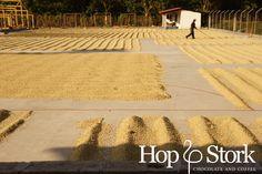 Op de koffie plantage - derde droogfase van de bonen. www.hopenstork.com