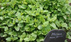 Melisa, planta medicinal relajante y tonificante ((melisse touffe))
