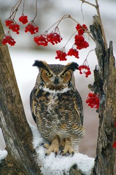 Great Horned Owl. I LOVE these guys! Don't get to hear their hoohoo nearly as often as I'd like:)