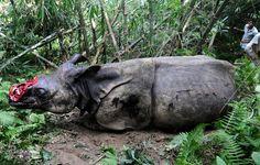 Un ejemplar de una especie de rinoceronte en peligro de extinción, yace en el suelo herido por cazadores furtivos que le han arrancado su cuerno, cerca del Parke Nacional de Kaziranga, en India.