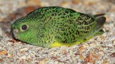 The night parrot is under threat from rising temperatures due to climate change: